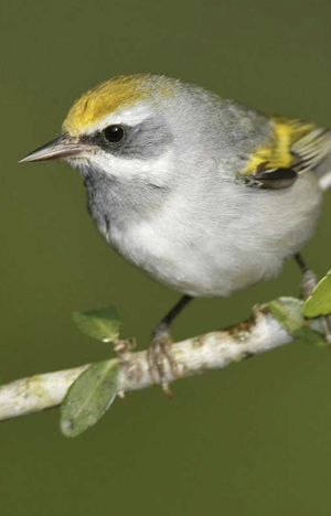 female golden winged warbler - Photo: Brian E. Small/VIREO