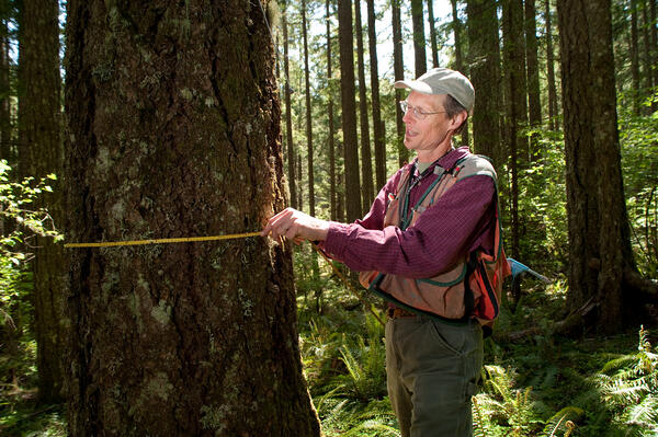 Forester measuring tree