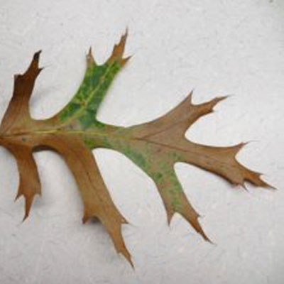 oak-wilt-invasive-wisconsin