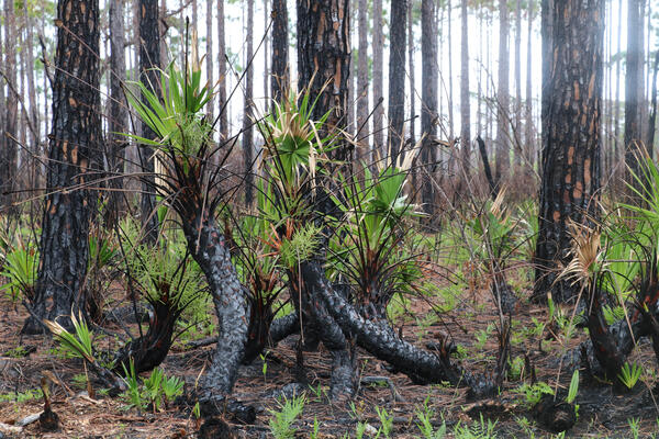 Close up image of a group of young palm trees, their trunks recently burned in a controlled fire. The charred trunks of larger trees can be seen in the background.