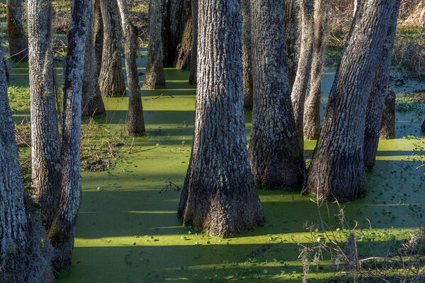 Trunks of Tupelo trees growing in green swamp